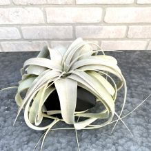 Xerographica in Geometric Planter